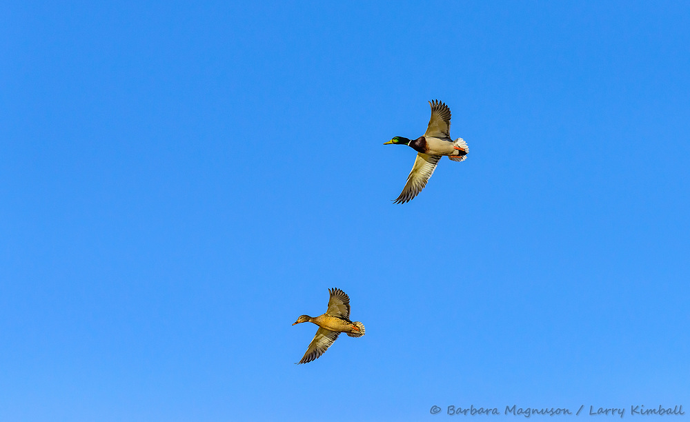 Mallard duck [Anas platyrhynchos] flying; Bosque del Apache, New Mexico