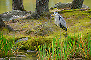 Japan, Kyoto, A crane bird in the garden of the Zen Buddhist temple Kinkaku-ji (Temple of the Golden Pavilion), AKA Rokuon-ji (Deer Garden Temple)