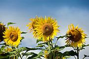 Field of sunflowers, tournesol, near Chatelleraut, Loire Valley, France