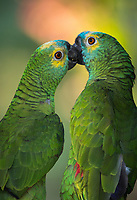 Portrait of a pair of  turquoise-fronted amazons (parrots), Amazona aestiva, in Brazil.