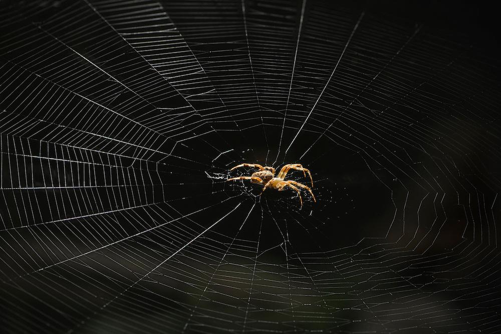 European Garden Spider, (Araneus diadematus), captive, credit: Palo Alto JMZ/M.D. Kern