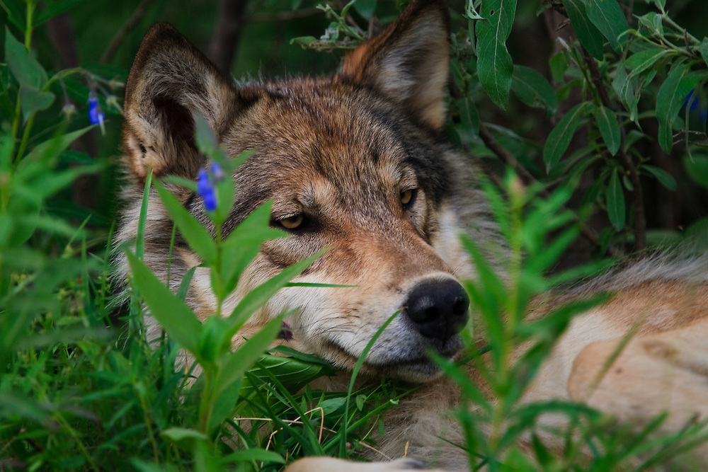 Resting yearling gray wolf (Canis lupus) from the Toklat pack in Denali National Park, Alaska