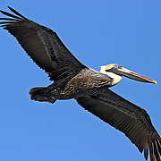 Brown Pelican nonbreeding adult in flight