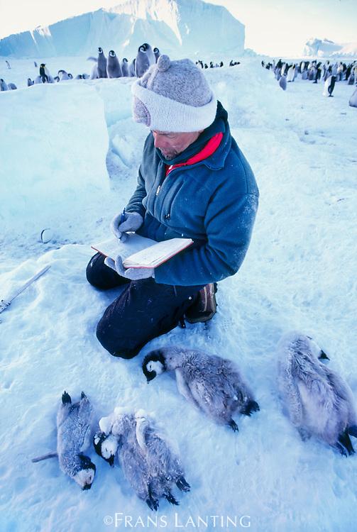 Ornithologist Peter Harrison with dead emperor penguin chicks, Apenodytes fosteri, Antarctica
