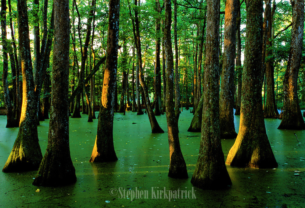 Sunrise in cypress & tupelo swamp - Mississippi