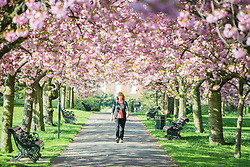 LNP HIGHLIGHTS OF THE WEEK 11/04/14 © Licensed to London News Pictures. 10/04/2014. London, UK. A woman walks through the line of trees.  People walk and play amongst the pink cherry blossom in bright sunshine at Greenwich Park in London today, 10 April 2014,The weather forecast is set to be brighter and warmer over the coming days.Photo credit : Stephen Simpson/LNP