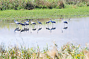 Common crane (Grus grus). Large migratory crane species that lives in wet meadows and marshland. It has a wingspan of between 2 and 2.5 metres. It spends the summer in northeastern Europe and western Asia, and overwinters in north Africa. It feeds on vegetation, insects, frogs and snakes. Photographed in the Agamon lake, Hula Valley, Israel, in November