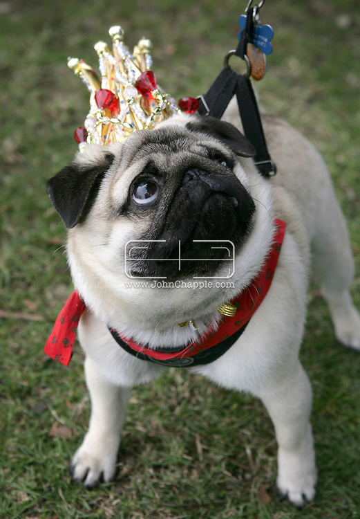 15th February 2009. Long Beach, California. Beauty may claim to be in the eye of the beholder, especially at the Haute Dog Beauty Contest. Bulldogs, pugs and French bulldogs competed in the annual Pageant to be crowned top-dog. Pictured is L.T. the pug, who was crowned most beautiful in show..PHOTO © JOHN CHAPPLE / REBEL IMAGES..(001) 310 570 9100   john@chapple.biz   www.chapple.biz
