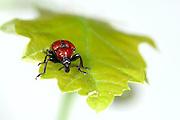 Oak Leaf Roller Beetle (Attelabus nitens) Göhrde, Germany (sequence 1/9) | Der weibliche Eichenblattroller (Attelabus nitens) untersucht ein Eichenblatt, bevor er mit dem Bau seiner Kinderstube beginnt.