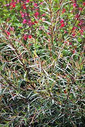 Salix purpurea 'Nancy Saunders' AGM (Willow) with Salvia 'Jezebel'