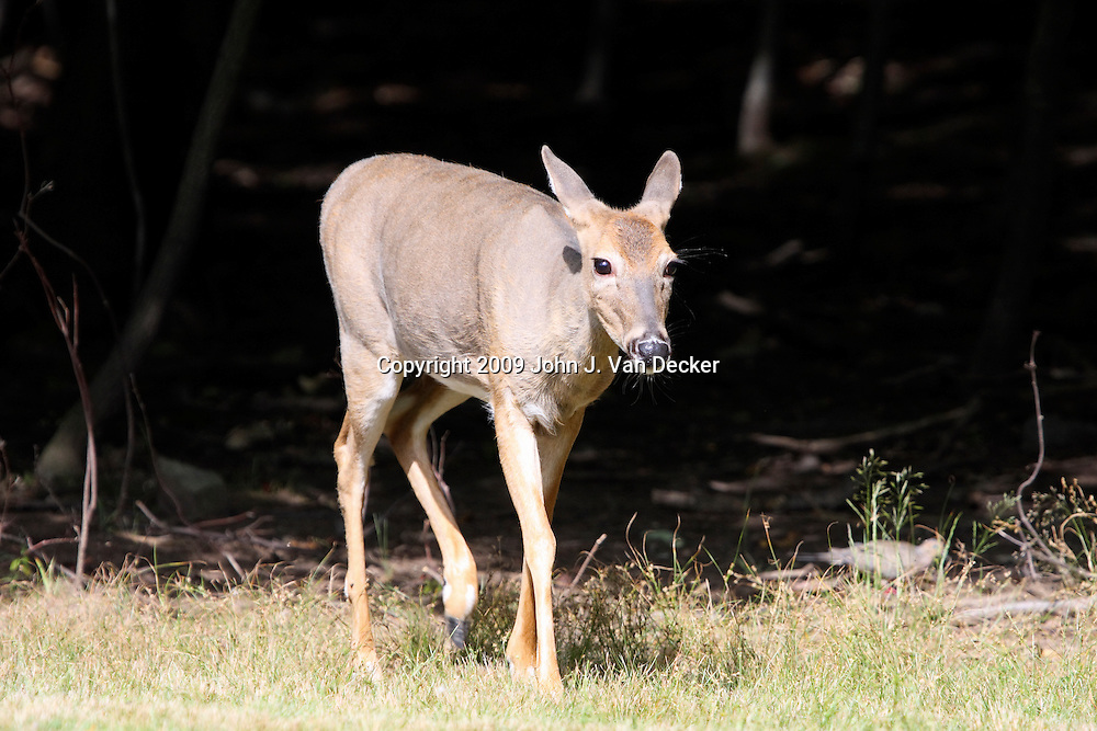 A White-tailed deer fawn walking out of the woods,Rifle Camp Park; Garret Mountain, New Jersey