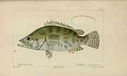 Nandus from Histoire naturelle des poissons (Natural History of Fish) is a 22-volume treatment of ichthyology published in 1828-1849 by the French savant Georges Cuvier (1769-1832) and his student and successor Achille Valenciennes (1794-1865).