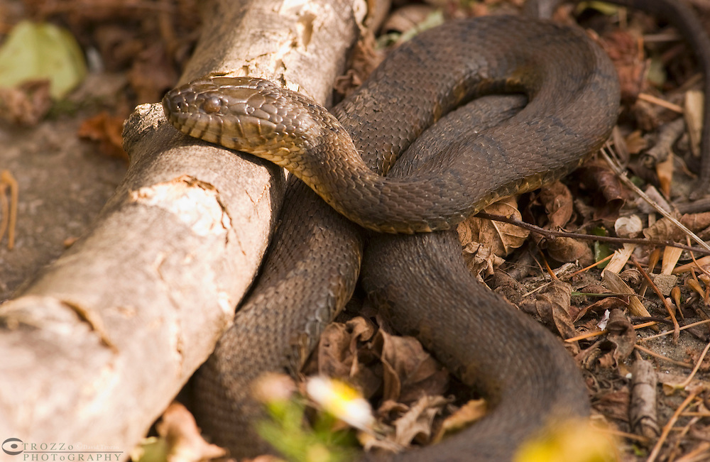 Black Rat Snake, Elaphe obsolete