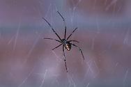 Black Widow, Latrodectus hesperus, female on  web; Sonoran Desert, Arizona
