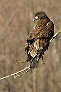 Wintering juvenile bald eagle on the Nooksack River, Deming, Washington