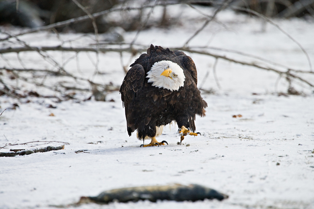 Bald Eagle approaches salmon scraps in Chilkat Bald Eagle Preserve, Haines, Alaska. Southeast. Winter. Morning.