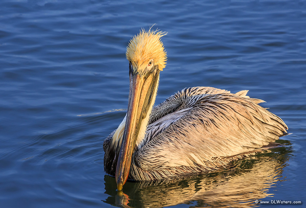 A pelican waiting for a fish  hand out at Wancheese Harbor, North Carolina.