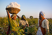 Sheela and her husband Manga harvest their organic cotton on their farm in  Sendhwa, India.<br /> <br /> Sheela and Manga have recently converted to organic cotton farming with help from the Aga Khan Foundation who are working in partnership with the C&A Foundation.
