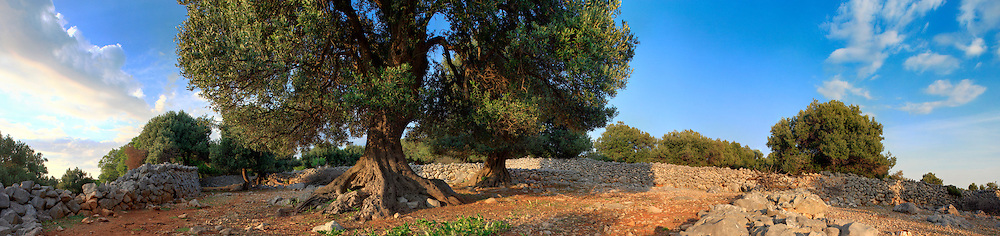 Olive Tree, Tranquil Scene, Growth, Panoramic,