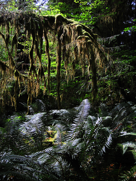 Lush vegetation in the Hoh Rainforest. The Hoh River trail in Olympic National Park starts in the mossy and lush Hoh Rain Forest. From there you climb over 5,000 ft. in elevation along towering trees and rock to overlook the windswept Blue Glacier on Mt. Olympus. Tracing your steps back to the Hoh River visitors center the hike covers over 36 miles of diverse climate and ecosystems ranging from temperate rain forest to alpine.