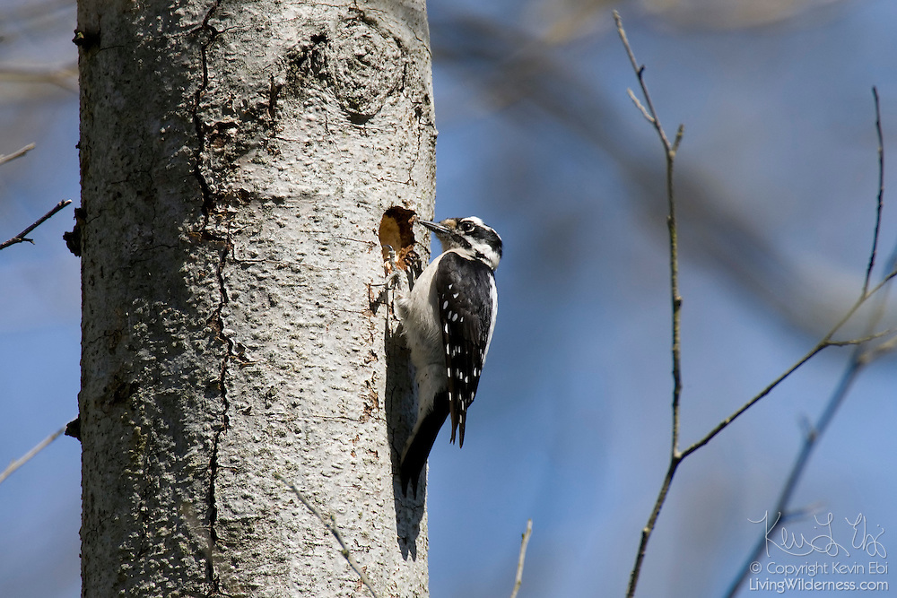 A downy woodpecker (Picoides pubescens) drills a hole in a tree trunk. The downy woodpecker is the smallest woodpecker in North America. This particular bird is a female; males have a red patch on the back of their heads.