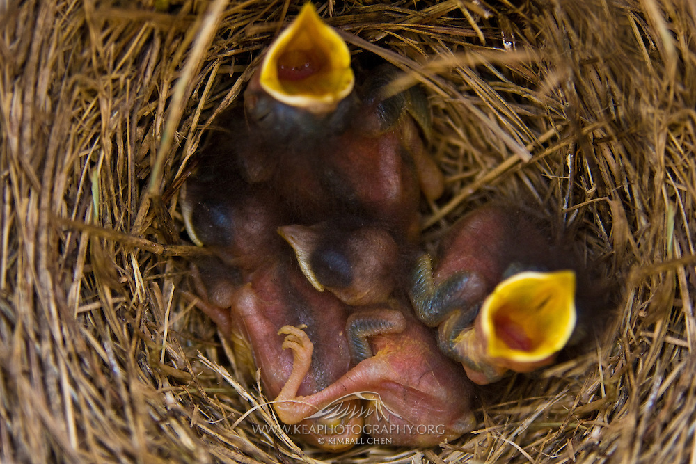 Newborn Eastern Bluebirds cheep for their next meal in their nest.  Georgia, North America.