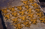 Cowhides drying in the sun after dying process at the Tanneries, Fes, Morocco