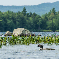 A loon swims around pickerel weed at Willard Pond, Antrim, NH.  All Content is Copyright of Kathie Fife Photography. Downloading, copying and using images without permission is a violation of Copyright.