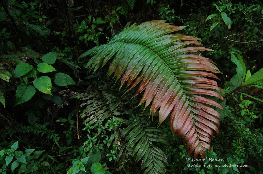 Giant fern forest, Parque Amboro, Bolivia