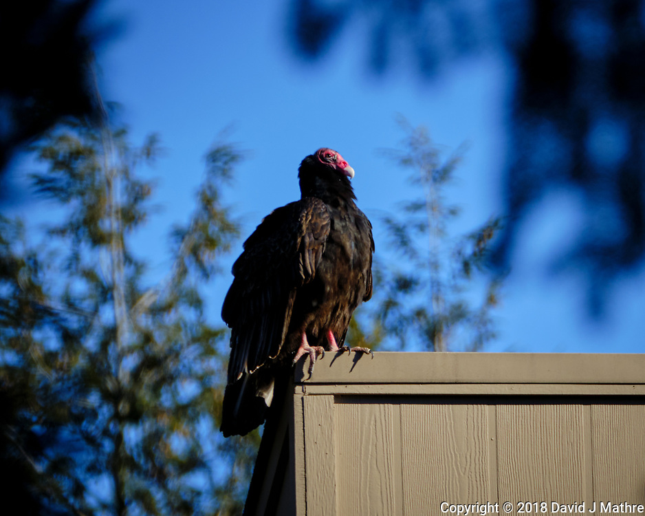 Turkey Vulture on a neighbor's roof. Image taken with a Fuji X-T2 camera and 100-400 mm OIS lens (ISO 200, 400 mm, f/5.6, 1/750 sec).