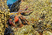Sally lightfoot crab coving out of a crevice