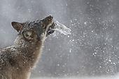 Wolf (wild)