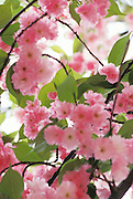Close up of leaves and pink Cherry blossom in spring