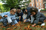 In a communal garden of a Stamford Hill block of flats 3 young Orthodox Jewish boys and one Orthodox Jewish girl collect conkers from the ground and put them into plastic bags.