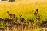 Ugandan Kobs (antelope), Murchison Falls National Park, Uganda.