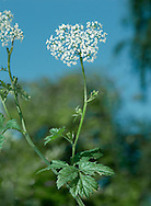 GREATER BURNET-SAXIFRAGE Pimpinella major (Apiaceae) Height to 1m. Branched perennial with hollow, ridged and hairless stems. Found in shady and grassy places. FLOWERS and white and borne in umbels, 3-6cm across (Jun-Sep). FRUITS are egg-shaped and ridged. LEAVES are usually 1-pinnate with toothed, oval lobes. STATUS-Widespread but distinctly local; commonest in central England.