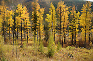 Cottonwoods and western larch in fall along the North Fork Flathead River 14 years after Moose Fire. North Fork Flathead River Valley, northwest Montana.