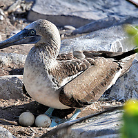 Blue-footed Booby on Eggs at Punta Su&aacute;rez on Espa&ntilde;ola Island in Gal&aacute;pagos, EC<br />