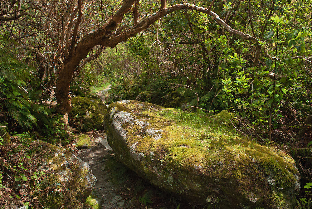 A Kotukutu tree arches over a large moss-covered boulder forming part of the Milford Track, Fiordland, New Zealand