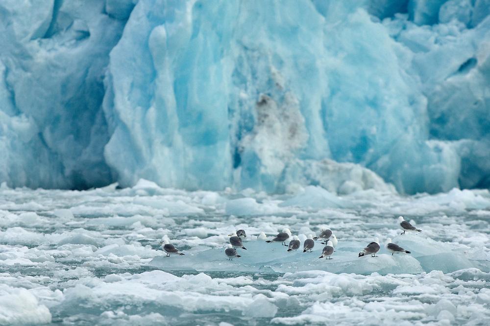 Black-legged kittiwakes / Rissa tridactyla<br /> Smeerenburg fjord<br /> Svalbard<br /> Norway