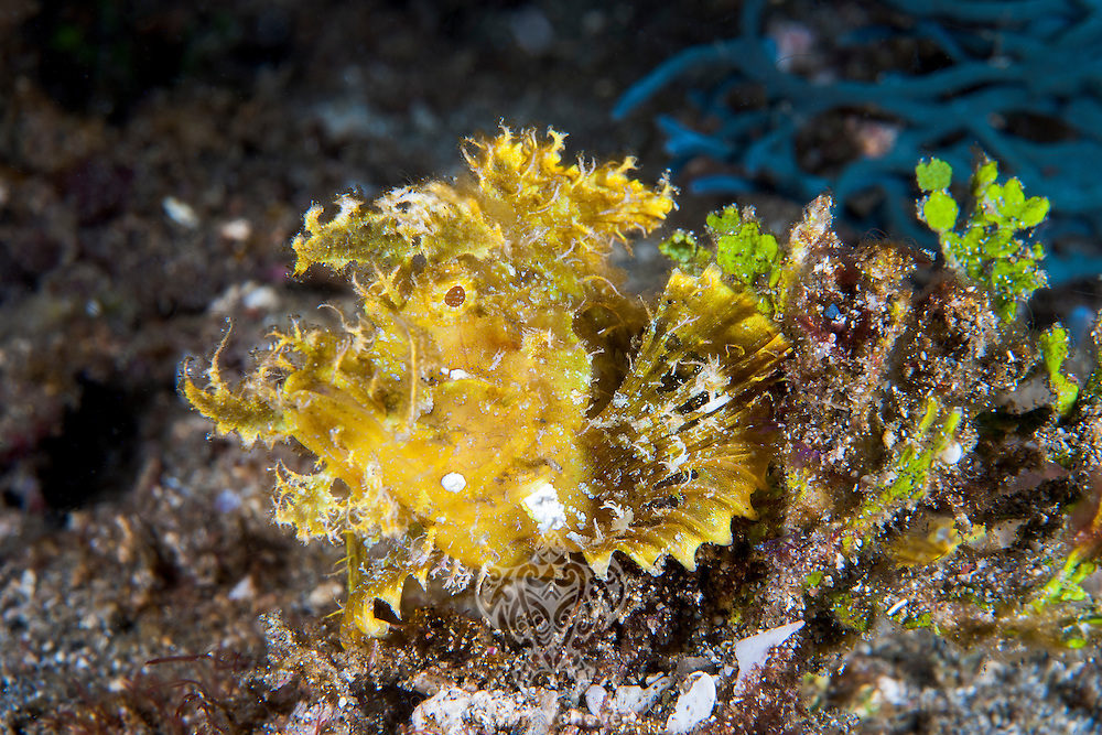 A Weedy Scorpionfish attempts to blend in with its surroundings<br /> <br /> <br /> <br /> Shot in Indonesia