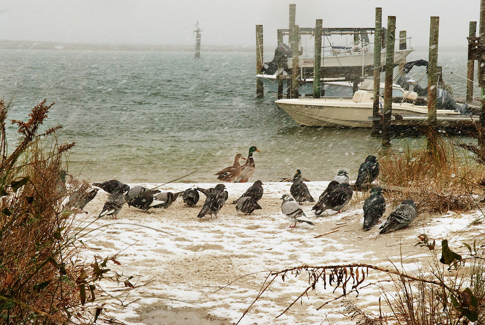 Birds in Snow, Wrightsville Beach, NC