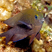 Longfin Damselfish generally inhabit reefs between 15-80 feet in Tropical West Atlantic; picture taken Little Cayman,