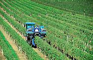 Pindar Vineyards, Peconic, New York, Sunflowers