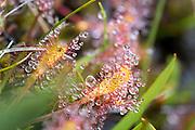 Smalsoldogg, Drosera anglica, commonly known as the English sundew or great sundew, is a carnivorous plant species belonging to the sundew family Droseraceae. It is a temperate species. Soldogg, planteslekt i soldoggfamilien. Soldoggslekta Drosera er en av de største slektene av kjøttetende planter i verden, kun tre arter i Norge. Den vokser på næringsfattige myrer, og fanger insekter med de spesielle bladene. Dette gjør den for å få nitrogen og evt. andre grunnstoffer, som den absorberer fra bl.a. proteinene i byttedyrene. Stengelen er bladløs og bærer noen få hvite blomster. I Norge tre arter, derav to som vokser på torvmosemyrer: rundsoldogg og smalsoldogg, begge vanlige over hele landet.