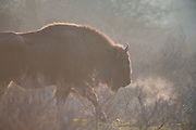 European Bison (Bison bonasus) walking through bushes showing breath cloud on a cold morning