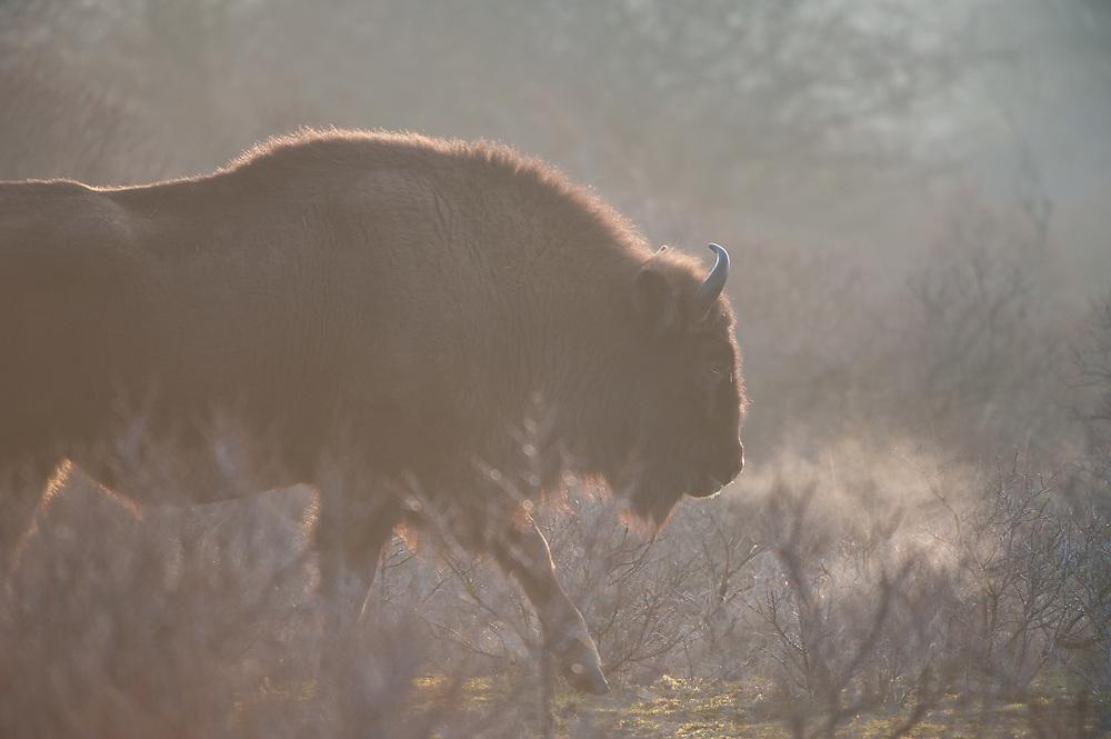 European Bison (Bison bonasus) walking through bushes showing breath cloud on a cold morning