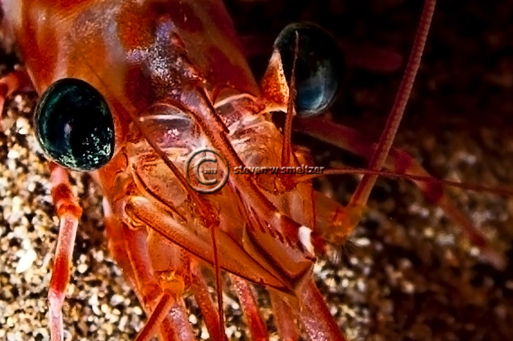 Candy Cane Shrimp, Parhippolyte mistica, (Clark, 1989), Maui Hawaii, Closeup