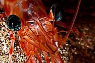Candy Cane Shrimp, Parhippolyte mistica, (Clark, 1989), Maui Hawaii, Closeup