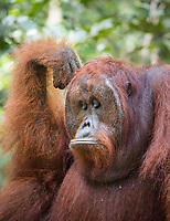 A wild, dominant male Bornean orangutan (Pongo pygmaeus) with pouting expression in Tanjung Puting National Park, Borneo, Indonesia.
